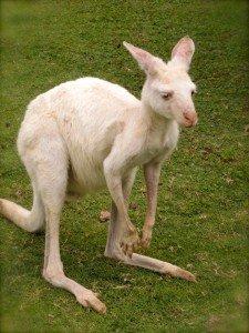 Australie - Kangourou 2/3 dans Animaux kangourou-blanc-225x300