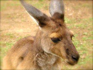 Australie - Kangourou 1/3 dans Animaux kangourou-portrait1-300x225
