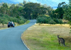 Australie - Kangourou 3/3 dans Animaux kangourou-et-honda-300x211