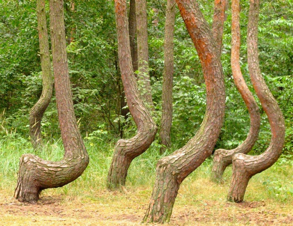 arbre-tordu-11 dans Pologne