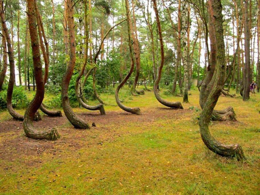 Les arbres tordus de Gryfino (Pologne) dans Allemagne arbre-tordu-15