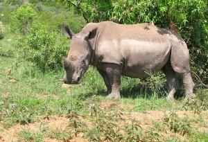 15 rhino groupe C