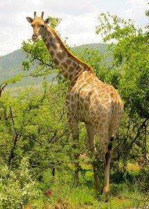 16 girafe A