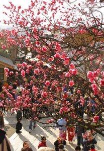 Cerisier rose à Kyoto