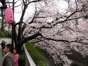 Japon cherry blossom