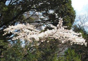 Japon printemps A