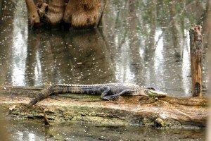 Everglades 1er jour croco 1