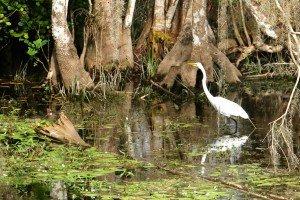 Everglades 1er jour oiseau blanc