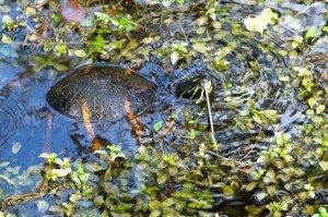 Everglades 1er jour tortue