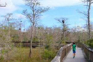 Everglades boardwalk cyprès 3