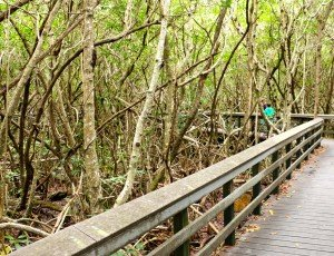 Everglades boardwalk mangrove