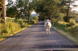Face à face avec une vache